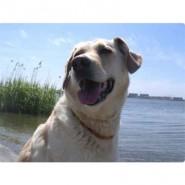 Amberdog Bernsteinkette -Sonne- 41 cm